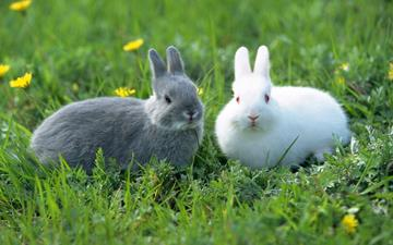 grey and white rabbit lying in grass